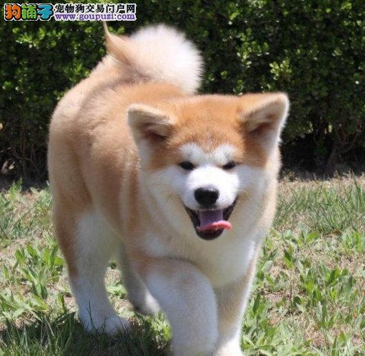 快速挑选性格优秀的秋田犬