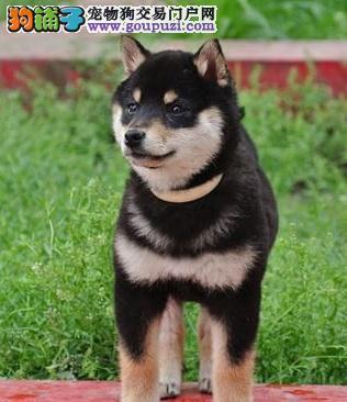 古老的日本狗——柴犬