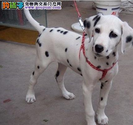 教你怎样挑选优质斑点狗