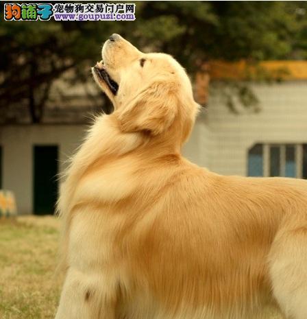 优质金毛犬外观标准及常见疾病