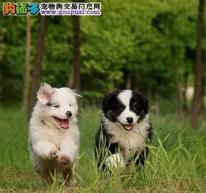 喜乐蒂、柯利犬和边境牧羊犬的区别