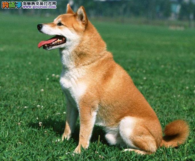 秋田犬好训练吗?饲养前须知