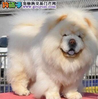 养前多了解,松狮犬的性格特征