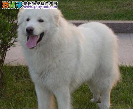 高大随和的大白熊犬
