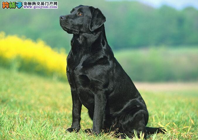 拉布拉多犬特征和个性介绍