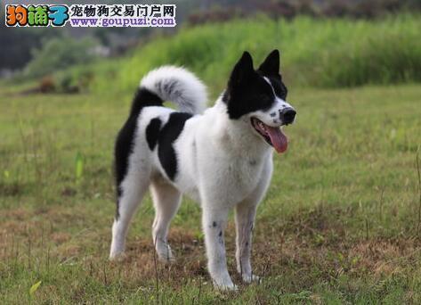 美系秋田犬所具有的外貌特征及性格