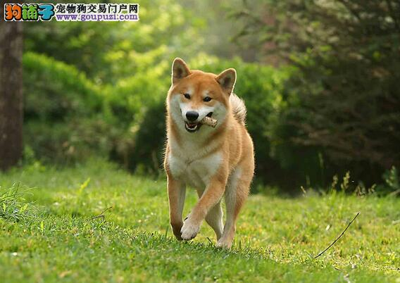 新手养狗:柴犬介绍及养柴犬7个理由
