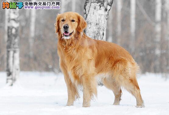 看看金毛犬性格类型和你是否匹配