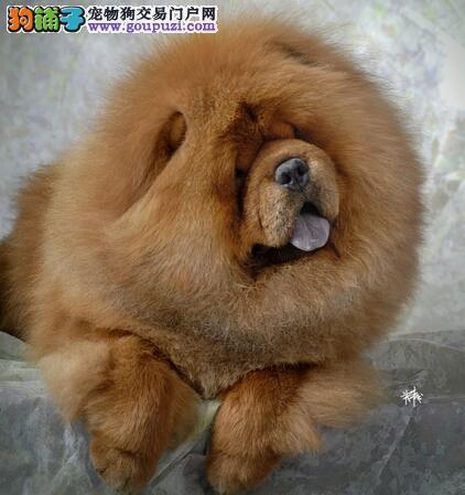 松狮犬是一种饲养简单且聪明伶俐的狗狗
