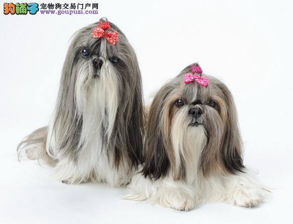 西施犬品种介绍及性格特点