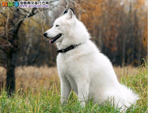 想要买到优质的阿拉斯加犬必须全面考察