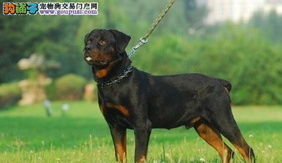 罗威纳犬的个性为平静、自信,而且勇敢