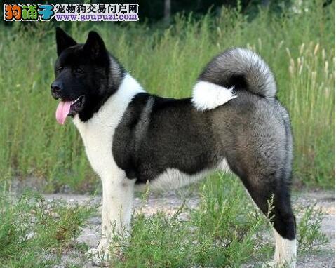 美系秋田犬起源于日本秋田犬