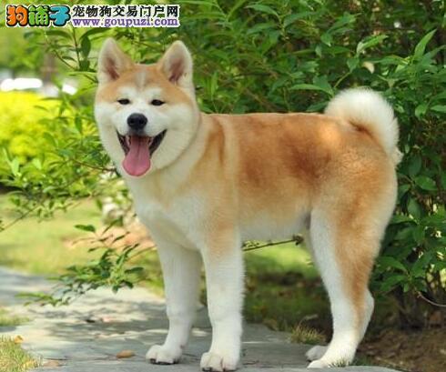 秋田犬个性温且易服从,是最好的看守犬之一