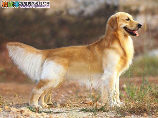 金毛犬外形特征