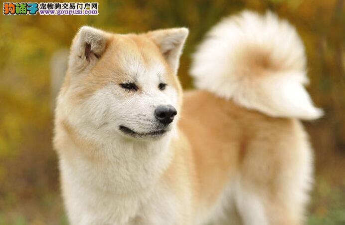 购买秋田犬请参照秋田犬的身体特征购买