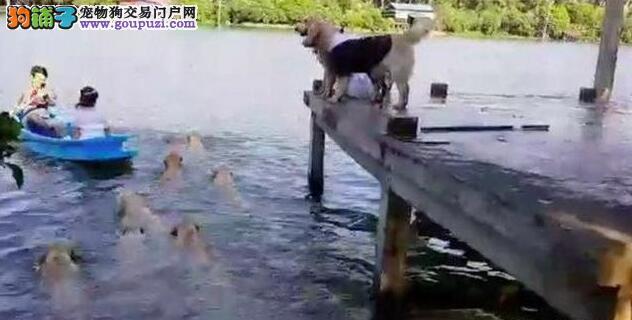 主人划船结婚狗狗以为被弃养失控跳下水
