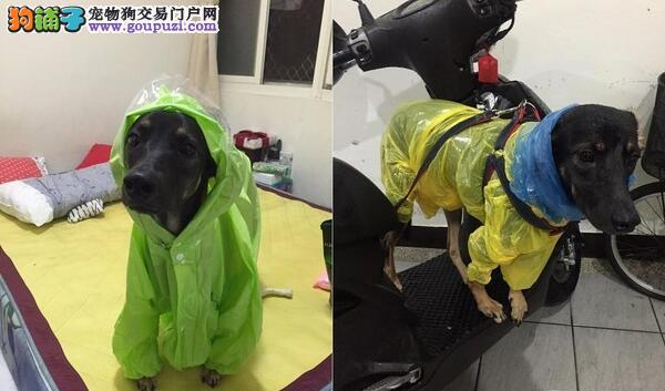 台风天狗狗想散步,只好这样了