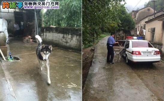 花痴哈士奇迷恋邻家狗不肯走,警察来了被带走