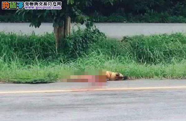 泰国狗狗路边痴等主人1年 最后不幸被车撞死了