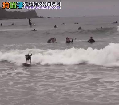 世界狗狗冲浪大赛,除了天分她夺冠背后有辛酸