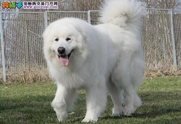 训练大白熊犬的基本方法与要领5