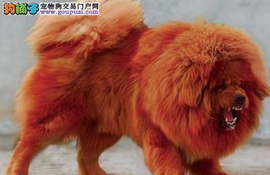 藏獒幼犬的饲养方法