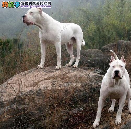 杜高犬的进笼和衔物训练