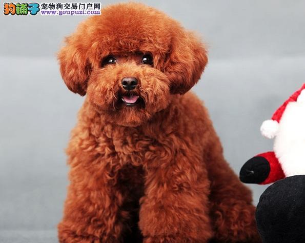教你几招,轻松告别泰迪犬爬跨行为
