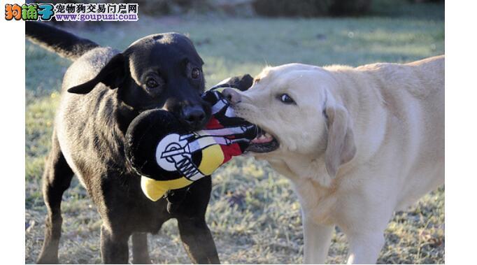 年龄阶段不同的德国牧羊犬,玩具也要适龄选购
