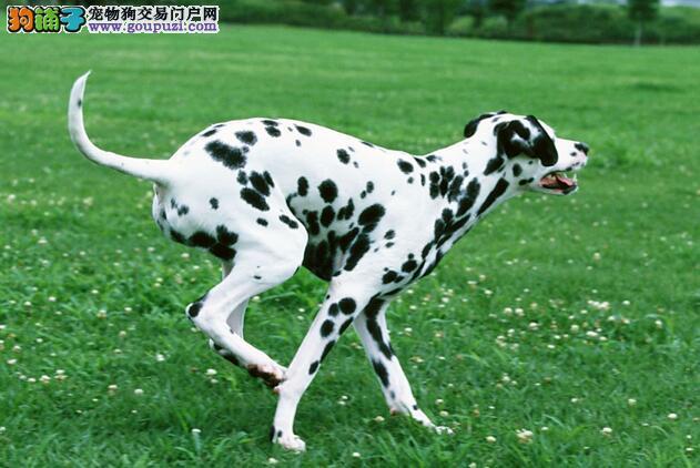 成年斑点狗喂养知识,形成规律保证营养
