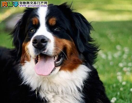 合理喂养伯恩山犬的标准及肥胖的原因