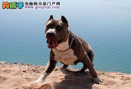 比特犬进入青年犬时期的具体表现