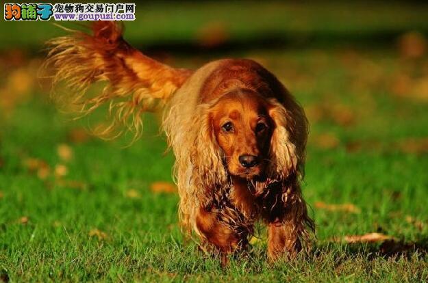 可卡犬的尿液有4方面的作用