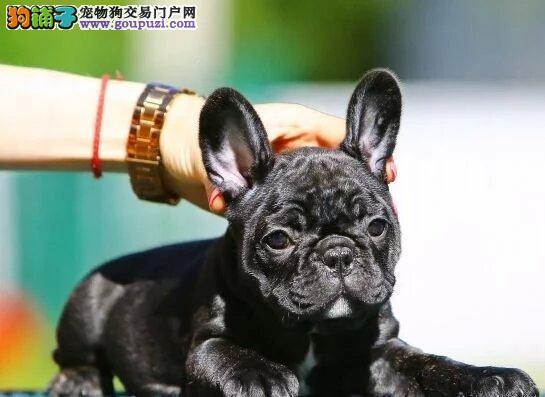 正规繁殖精品斗牛犬  签订协议  质保终身