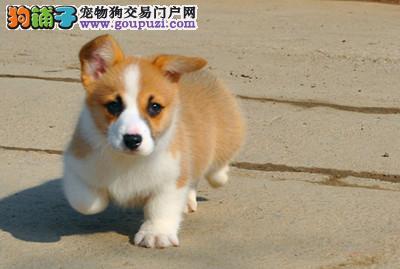 广州出售纯种柯基幼犬多窝挑选疫苗做齐签协议