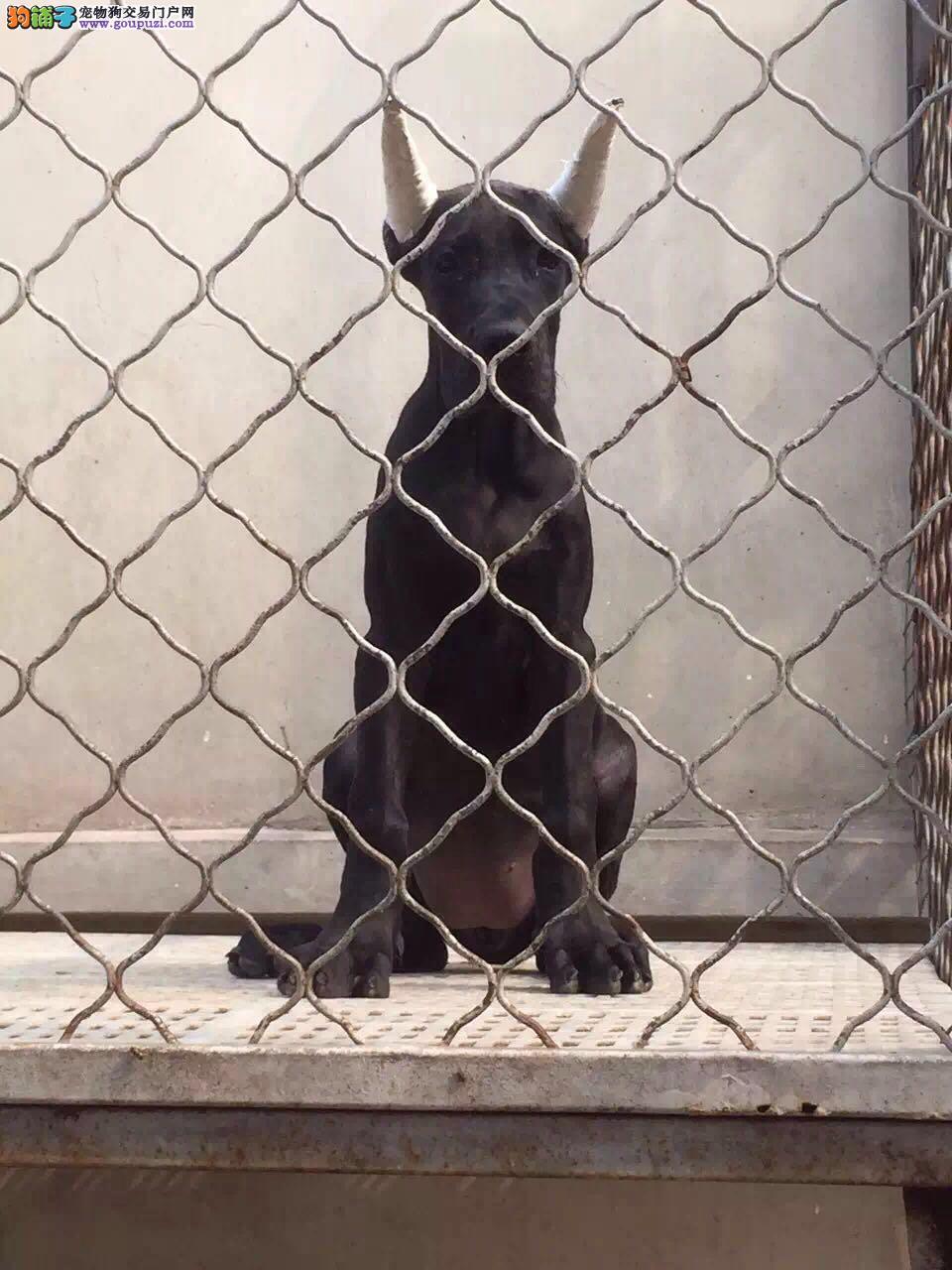 吐鲁番市出售大丹犬幼犬 纯种健康 可上门选购 签协议