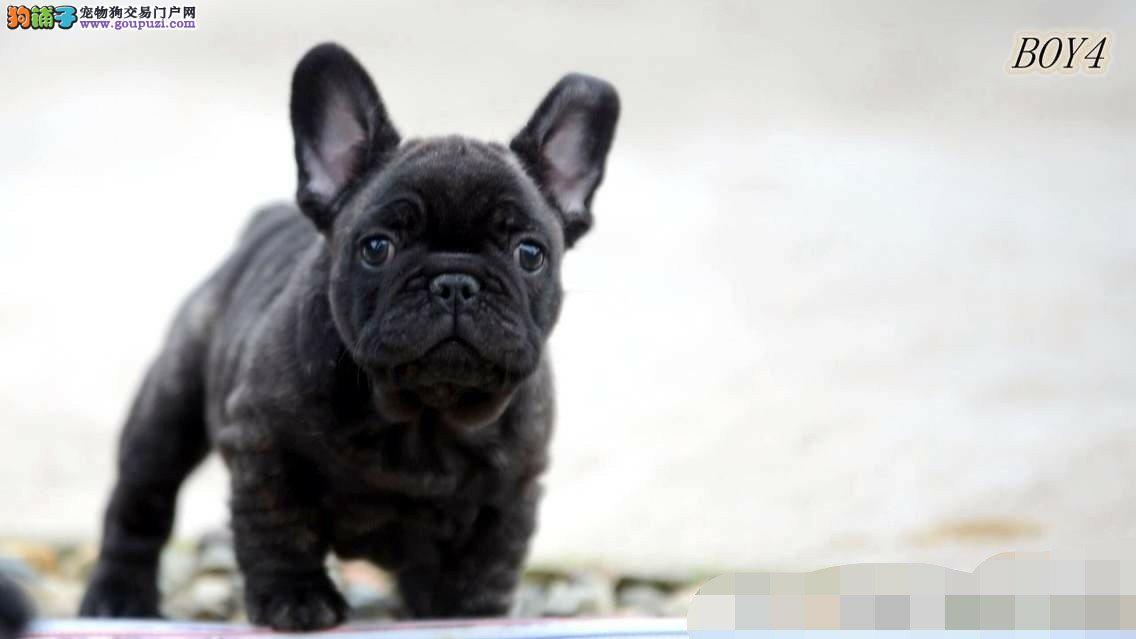 汉中售赛级纯黑色法国斗牛犬高品质家养狗保证可看视频