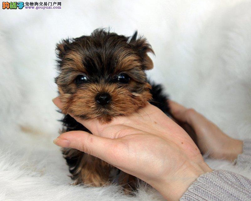 小型犬约克夏在哪里买 犬业有超可爱的