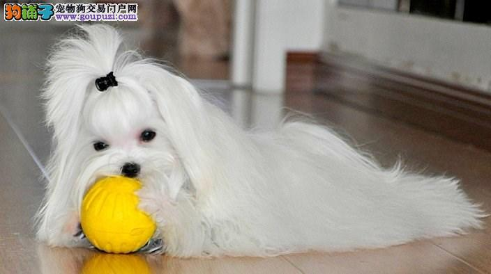 直销赛级马尔济斯,完美品相 品质第一,购犬可签协议
