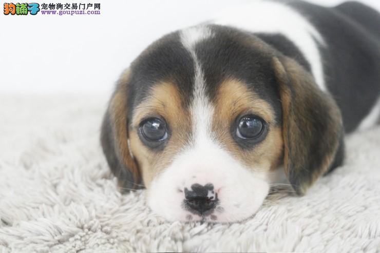 出售机灵 可爱的比格幼犬 花色纯正 多只可选 赛级品质