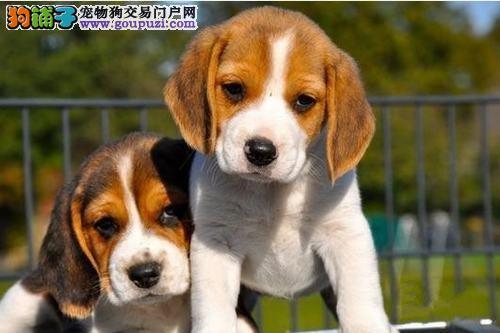 出售自家繁殖比格犬幼犬健康好品质