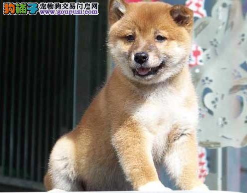 厦门出售纯种日系柴犬签订正式协议 免费医疗