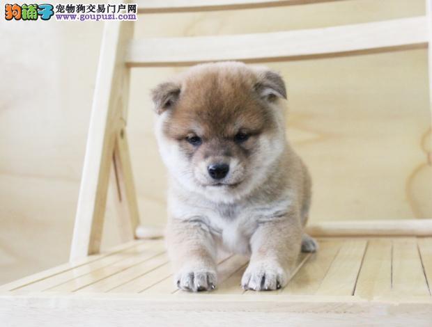 合川市繁殖精品柴犬宝宝 西巴犬 日本柴犬幼犬可挑