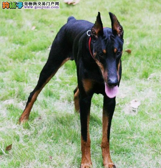 纯正德系纯种杜宾猎犬出售公母都有赛级品相保健康协3
