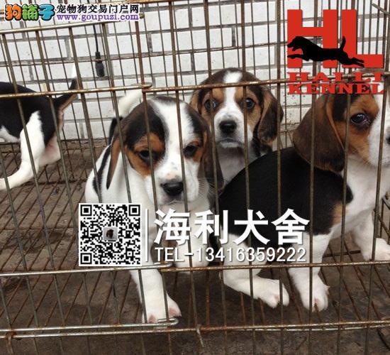 犬舍直销 极品米格鲁比格犬 价格合理 健康纯度保障