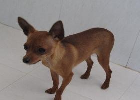 宁波纯种犬繁殖基地售高品质小鹿犬 签署合同售后完善
