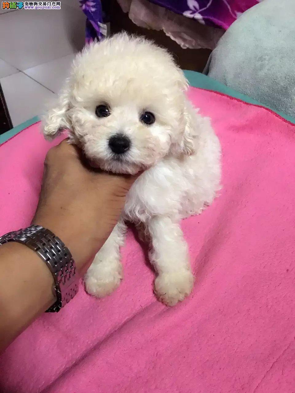 北京纯种韩系泰迪熊茶杯犬玩具犬可爱至极购买签订协议3