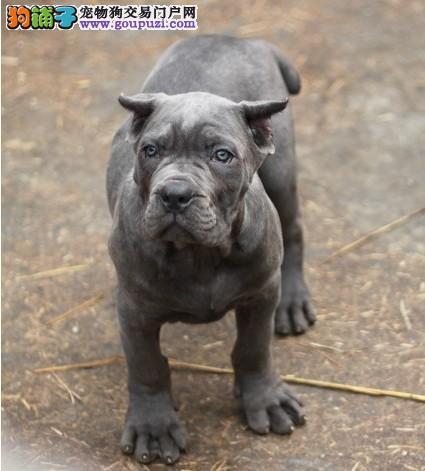 出售精品卡斯罗犬、纯度第一品质第一、三包终生协议