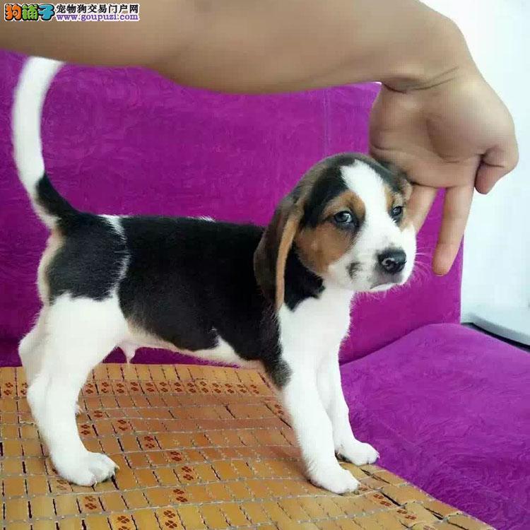 上饶出售好养帅气的比格犬 迷你型的比格犬特价出售